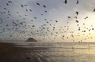 Lokkeja Morro Strand State Beachilla
