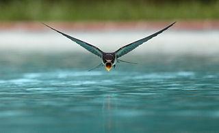 Vettä lennossa juova pääsky