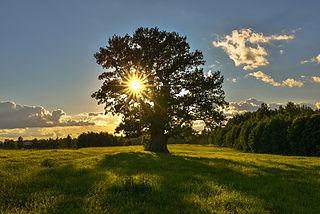 Tamme-Lauri, Viron vanhin puu