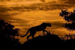 Gepardin siluetti auringonlaskun aikaan (Okavangon suisto, Botswana)
