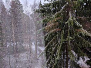 Lumireutaleita sataa kuusikossa