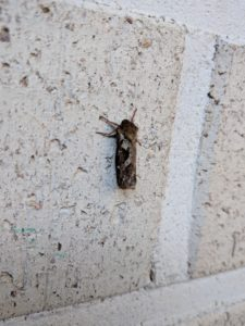 Tiiliseinällä (siivet supussa) lepäävän perhosen vasen kylki