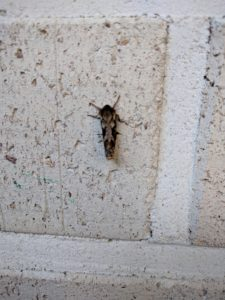 Tiiliseinällä (siivet supussa) lepäävän perhosen selkä