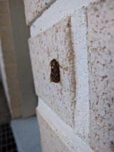 Tiiliseinällä (siivet supussa) lepäävän perhosen oikea kylki