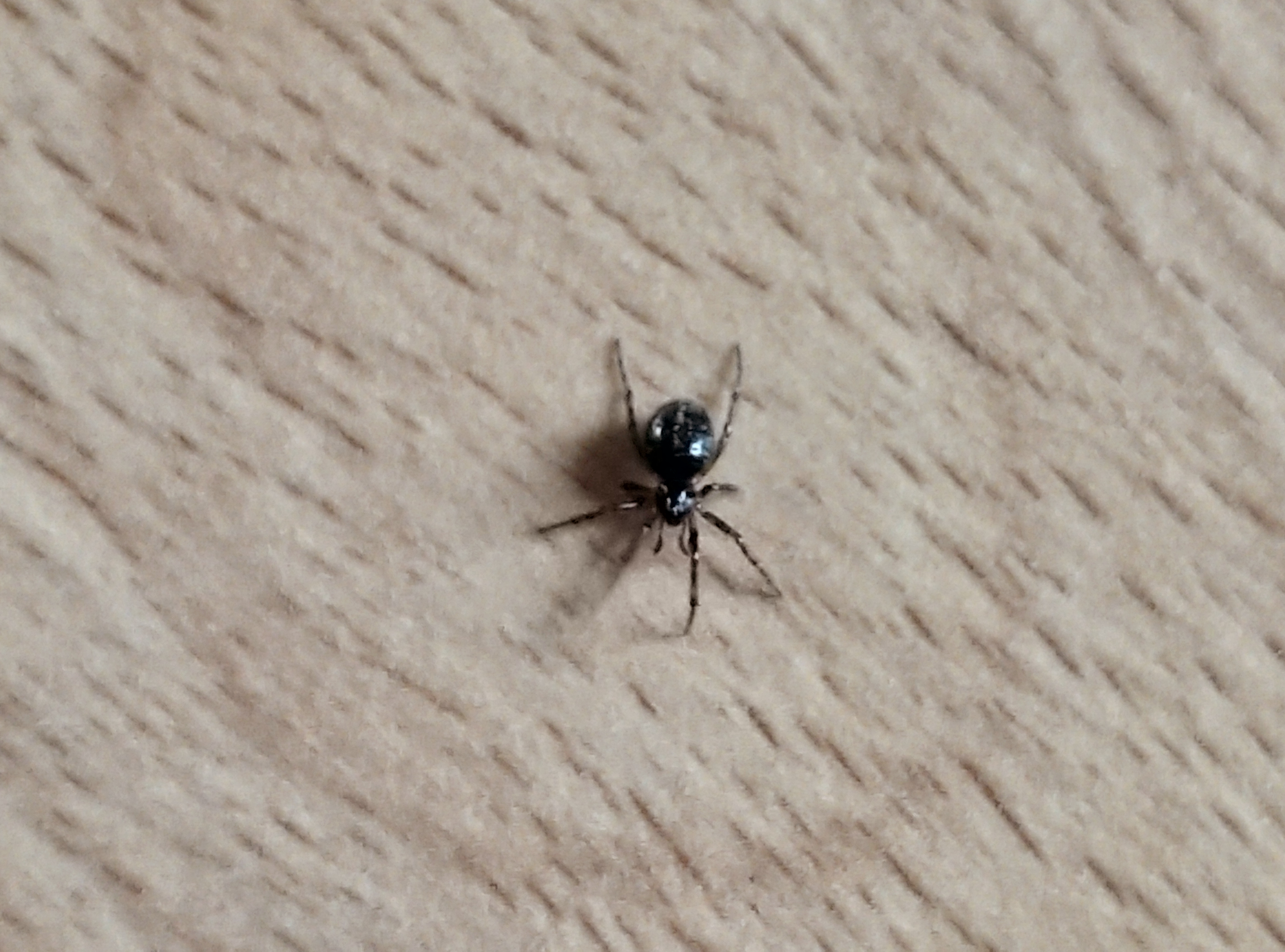 Pieni musta pallohämähäkki ylhäältä