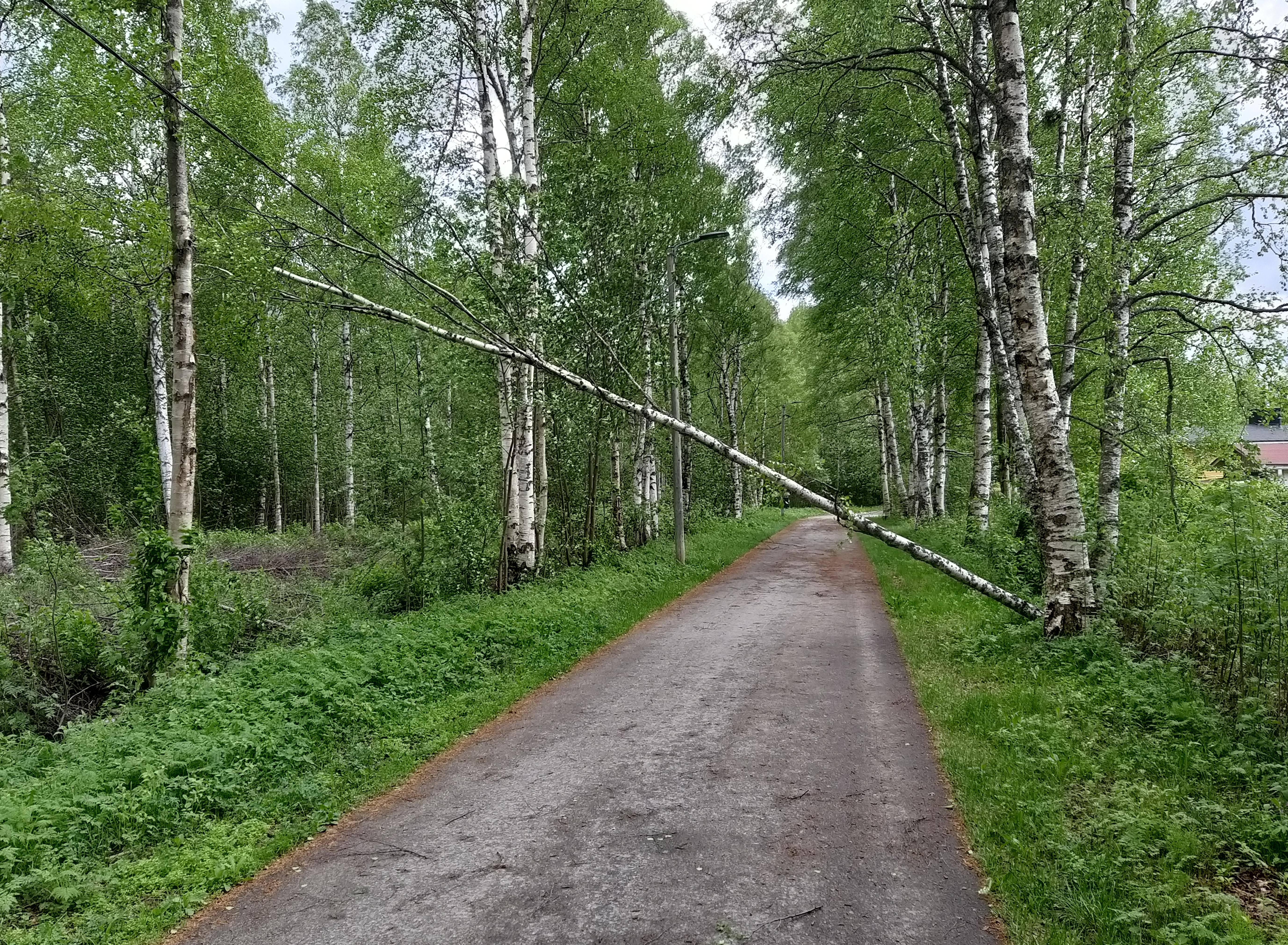 Asvalttitie halkaisee vihreän puistikon. Tien vasemmalla puolella katuvalon ilmajohto, jonka päällä nojallaan koivunrunko, joka on kaatunut tien oikealta puolelta.
