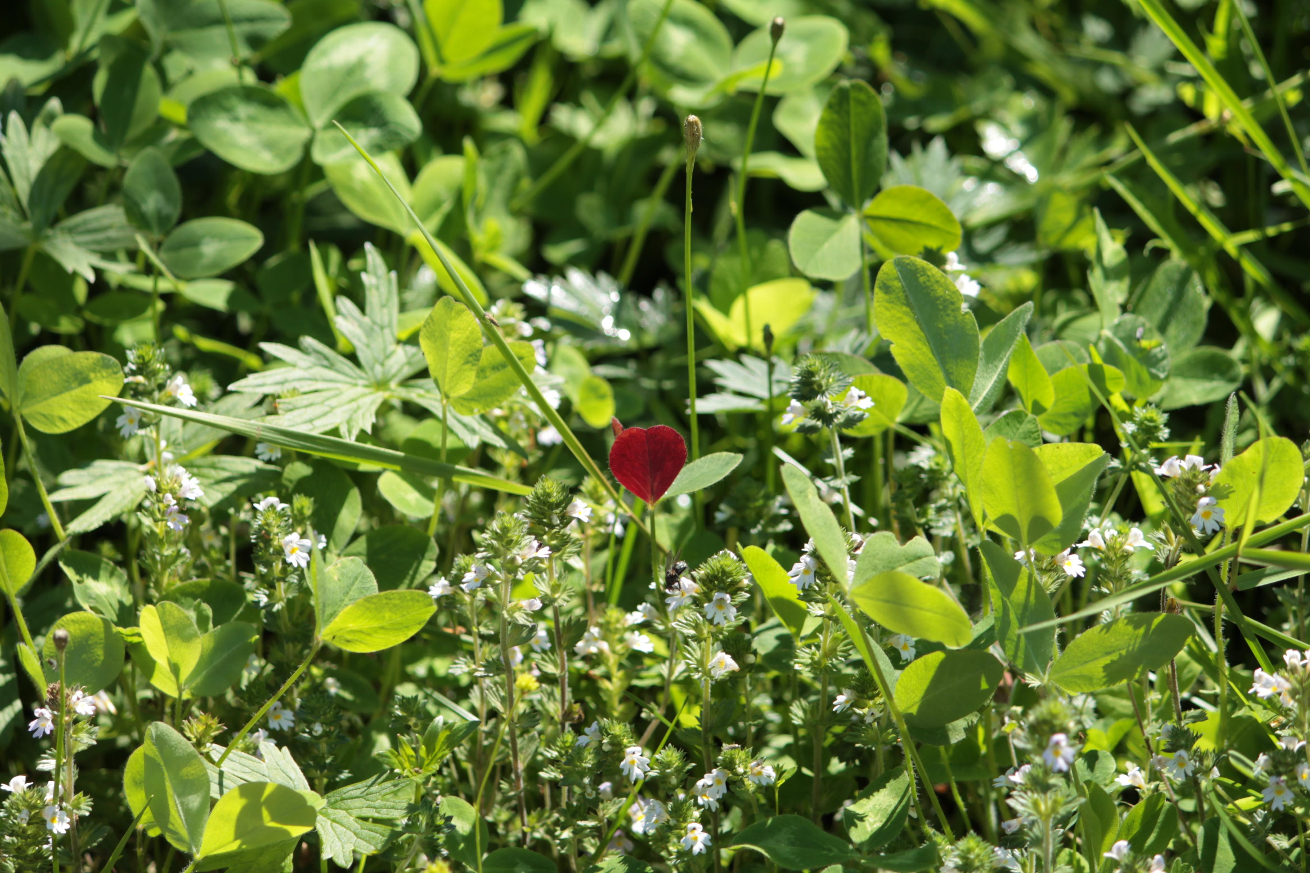 Verenpunainen lehti vihreiden lehtikasvien (ja valkoisten kukkien) seassa
