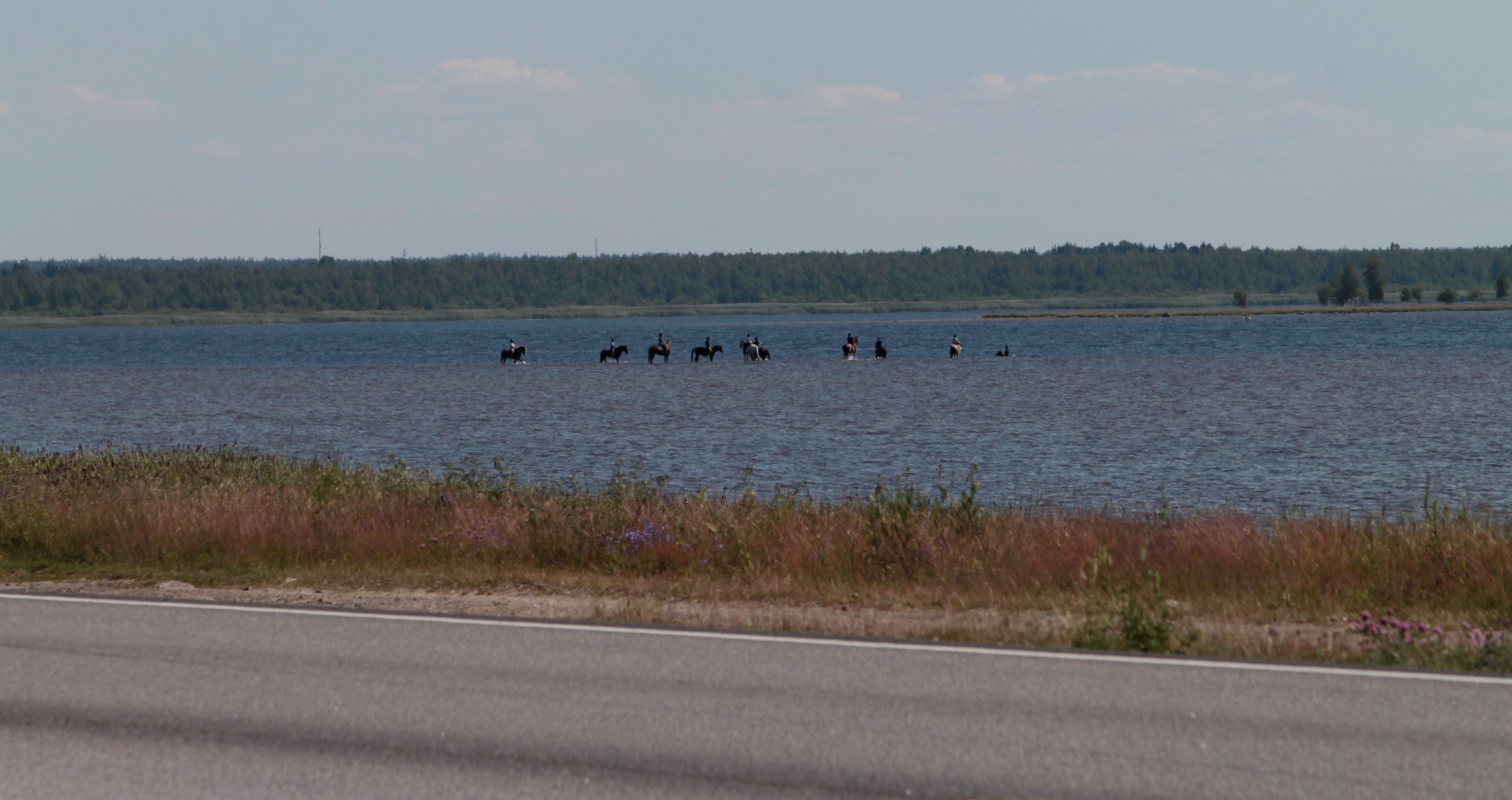 10 ratsukkoa meressä. Taustalla metsää, edustalla maantie.